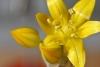 květ s kapkou