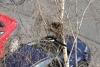straky staví hnízdo
